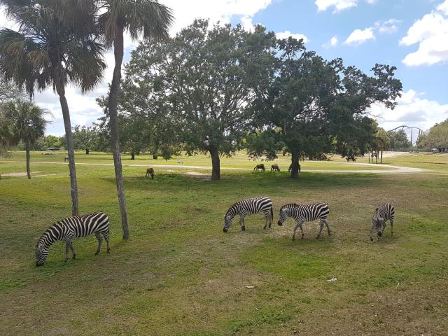 Busch Gardens Tampa Serengeti Zebras - O Parque mais Radical da Flórida: Busch Gardens